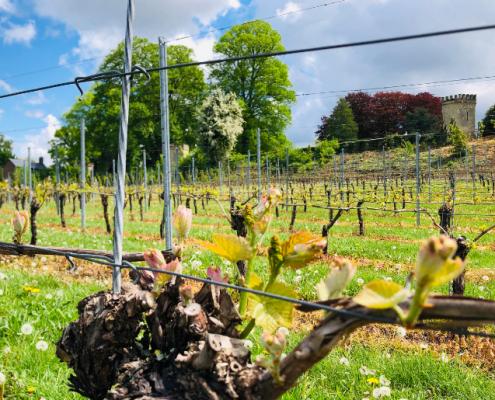 Rondleiding wijngaard Zuid-Limburg